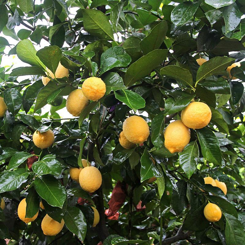 四川黄柠檬2斤 超大果单果150g   新鲜一级果 皮薄多汁 包邮