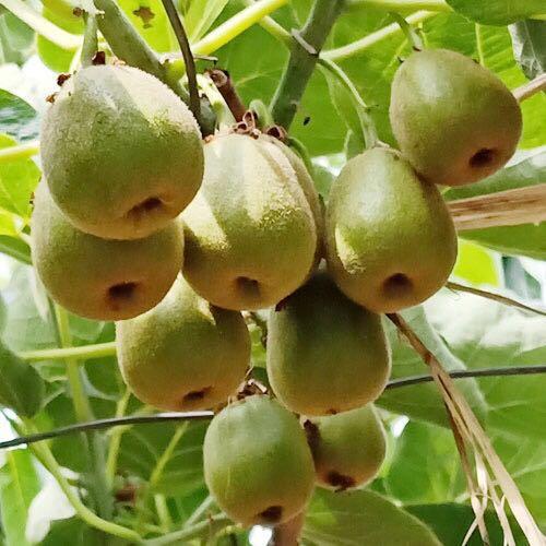苍溪红心猕猴桃24枚大果装(单果90-110)