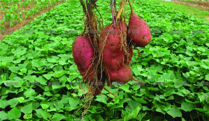 乌蒙山土特产  精品红薯粉条
